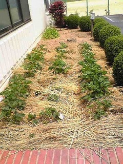イチゴ畑.jpg