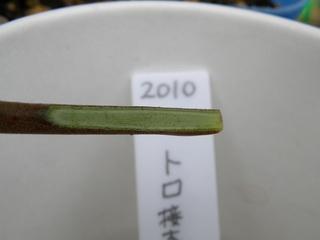 2010トロ接ぎ木02.jpg