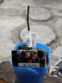 2010トロ接ぎ木05.jpg