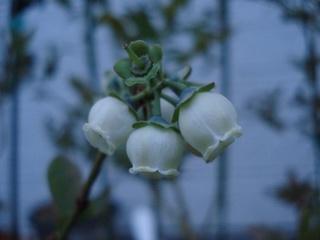 ブルーゴールド花2010.jpg